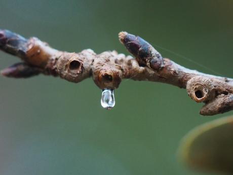 ムネアカアワフキ幼虫