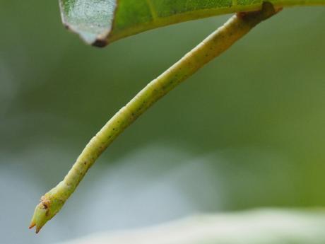ヒメウスアオシャク幼虫2