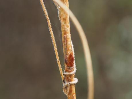 ヒロバツバメアオシャク幼虫2