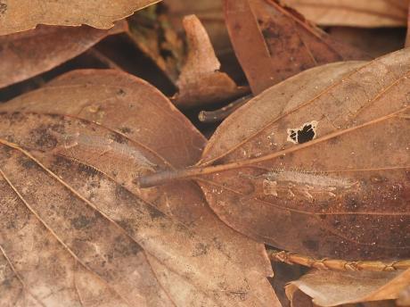 オオムラサキ幼虫&ゴマダラチョウ幼虫