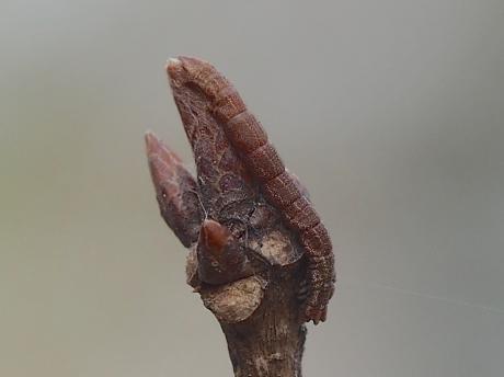 キバラヒメアオシャク幼虫か2