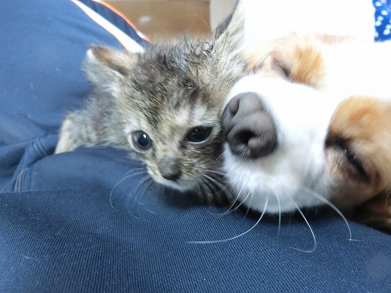 キャバリアと子猫 013