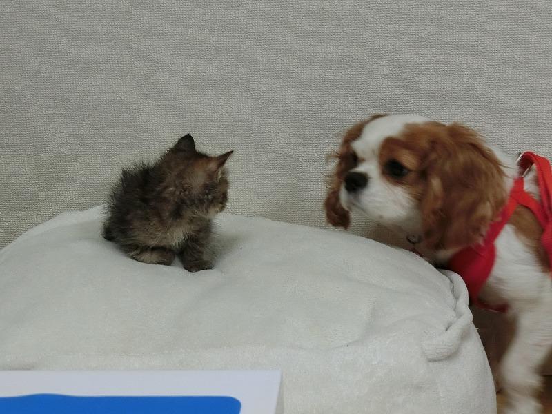 キャバリアと子猫 018