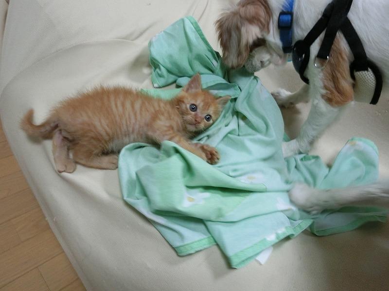 キャバリアと子猫 023