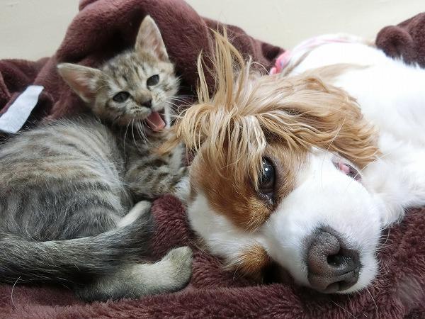 洋ちゃんの爪肥大とアポちゃんと子猫 004