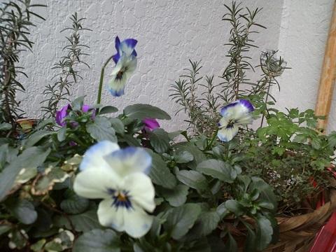 冬はビオラの花数が少ない