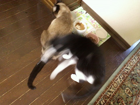 ご飯を食べるネコ