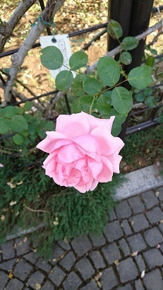 バラは綺麗
