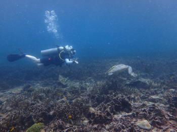 タオ島、カメ