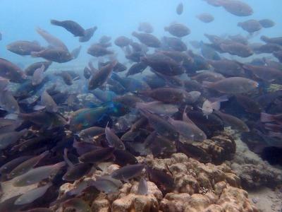 タオ島 サイリービーチ 群れ