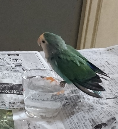 水浴び藍ちゃん(ちょっと古い)