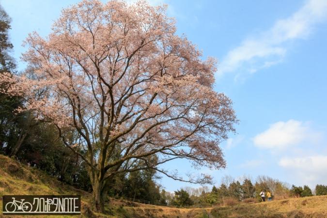宿根の大桜