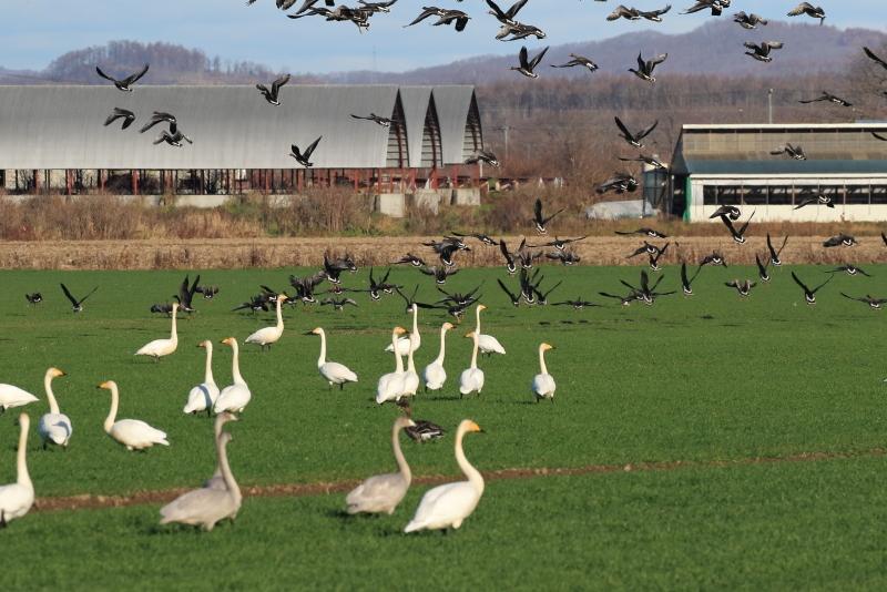 4D9A9018 白鳥とマガン