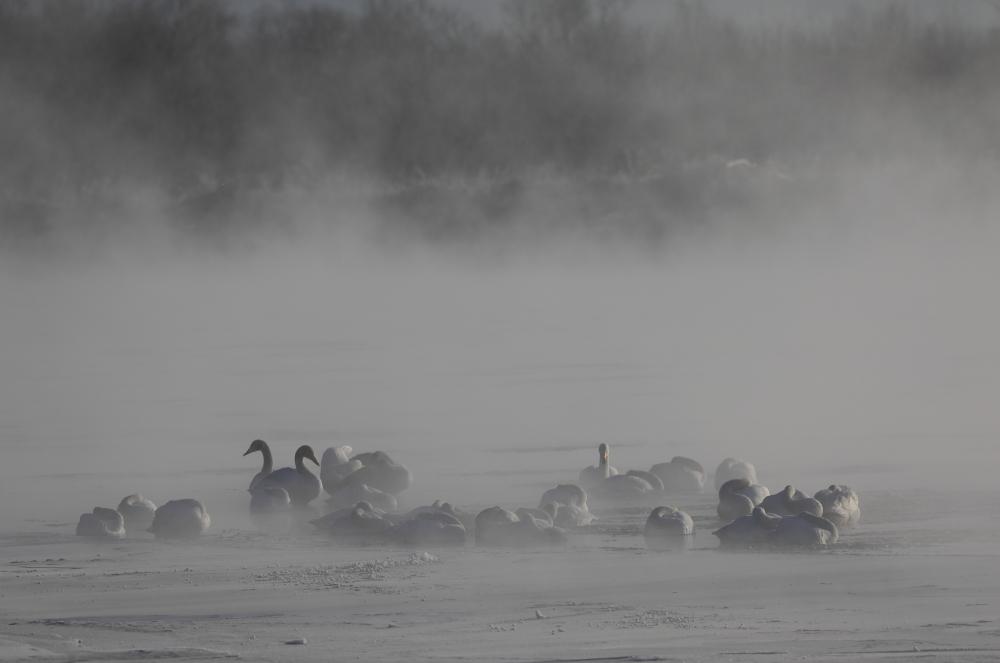 3794 毛嵐の中の白鳥