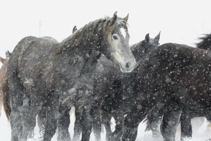2699 雪の日の馬追い