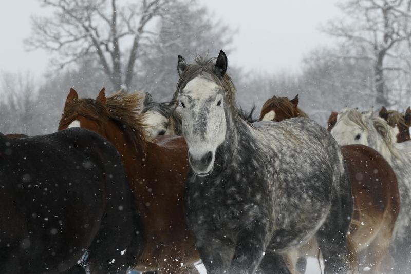 2761 雪の日の馬追い
