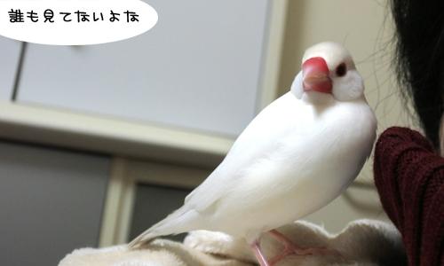 接待上手の文鳥たち_3