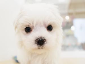 ホームページの最新仔犬情報を更新したよ