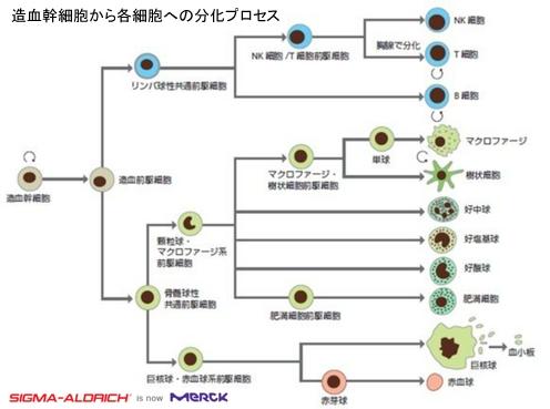 造血幹細胞から各細胞への分化プロセス