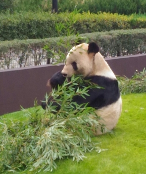 お父さんパンダ