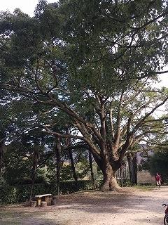 s-くすの木