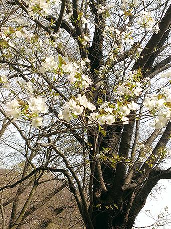 公園内は桜が咲いていました