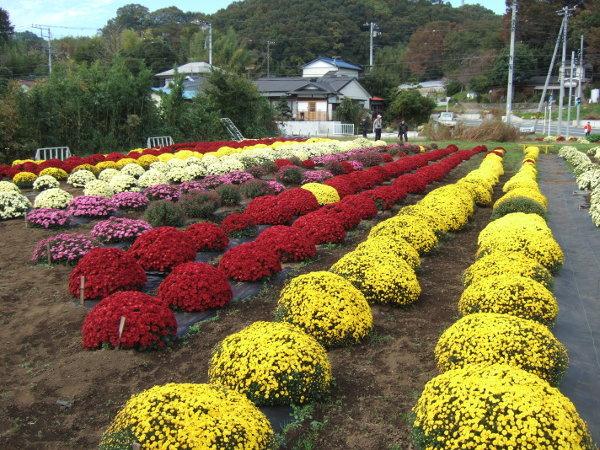 ざる菊園パノラマ03