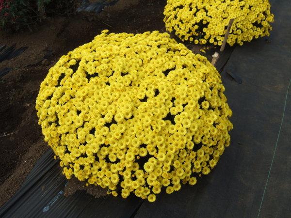 ざる菊黄色