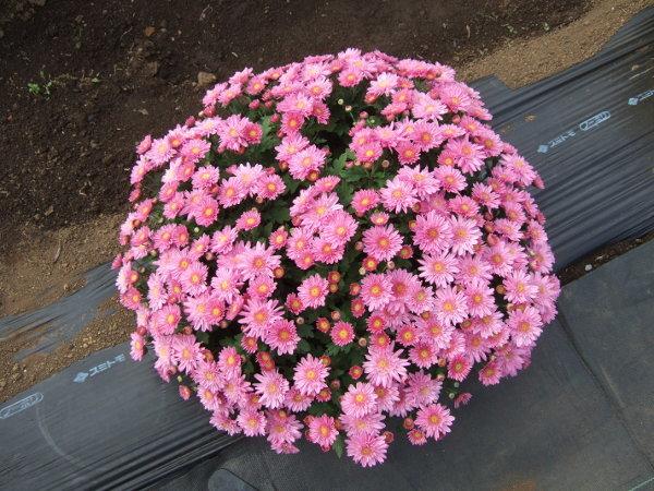 ざる菊ピンク