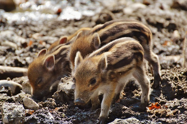 wild-pigs-1332261_640.jpg