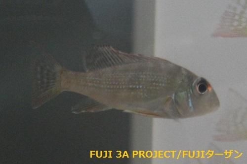ゲオファーガスアルティフロンス