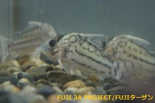コリドラスホワイトフィン