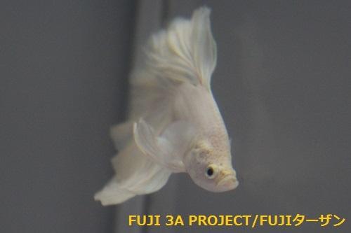 ベタハーフムーンプラチナホワイト