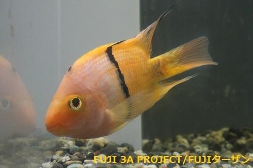 オレンジブラックタイガーパロット