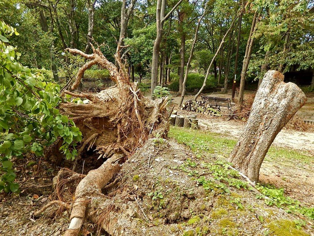 街のきのこ121台風21号の被害木のきのこ