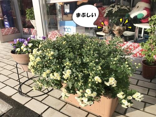 菊とミニモコ
