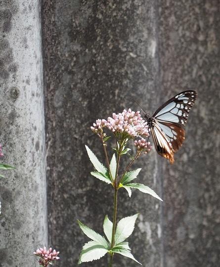 10月12日アサギマダラ2 - pe