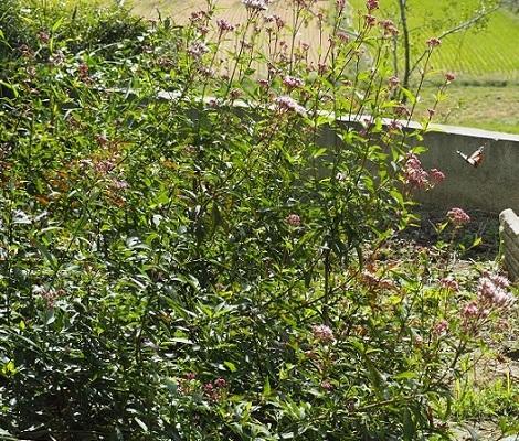10月12日アサギマダラ1羽と花壇-pe