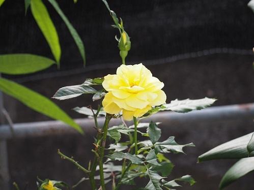 10月8日黄色バラ全景 - pe