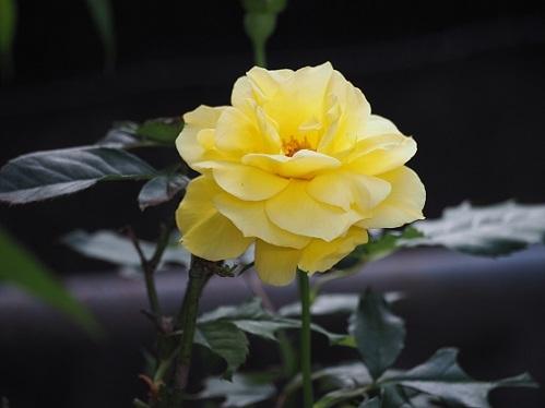 10月8日黄色バラ - pe