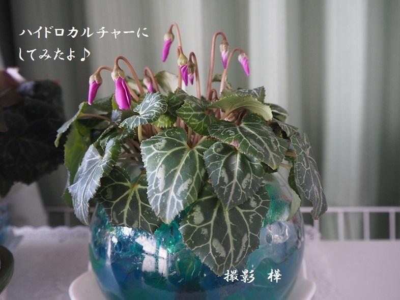 2019年1月16日鉢植えセレナーディア - pe