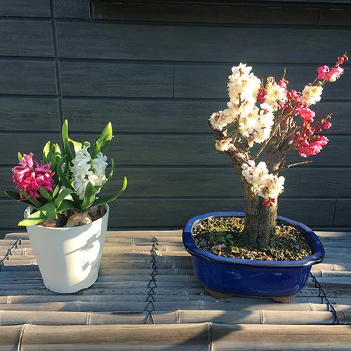 紅白の「梅」と「ヒヤシンス」が咲きました①