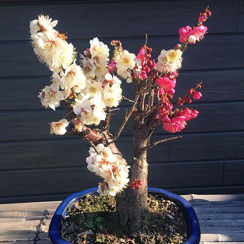 紅白の「梅」と「ヒヤシンス」が咲きました②