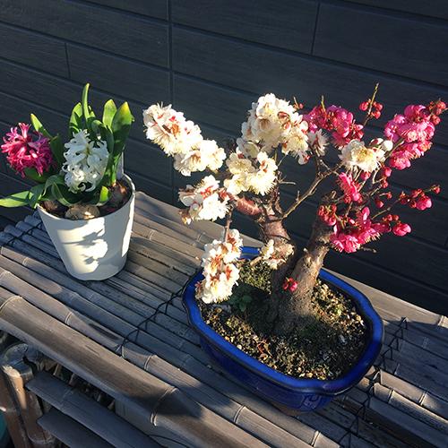 紅白の「梅」と「ヒヤシンス」が咲きました④