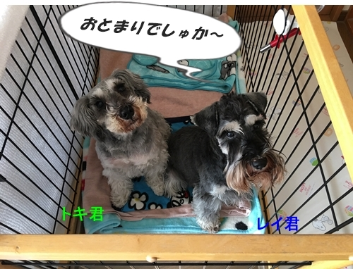 トキ君&レイ君2018年12月18日1