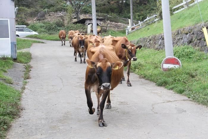 20181018牛の行進