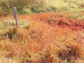 ハママツナ紅葉