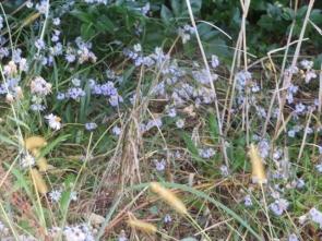 ハマシオンの花