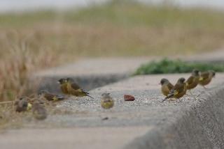 群れのカワラヒワ(鵲)