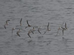 飛翔するミユビシギの群れ(鵲)